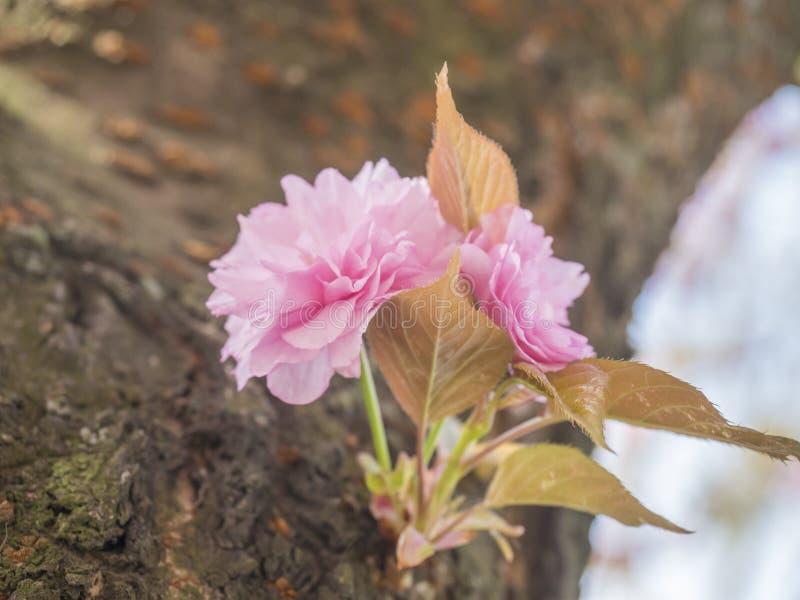 Zakończenie w górę kwitnienie menchii Sakura czereśniowego okwitnięcia lub japończyk wiśni pączka kwiatu Prunus serrulata gałąź,  zdjęcie royalty free