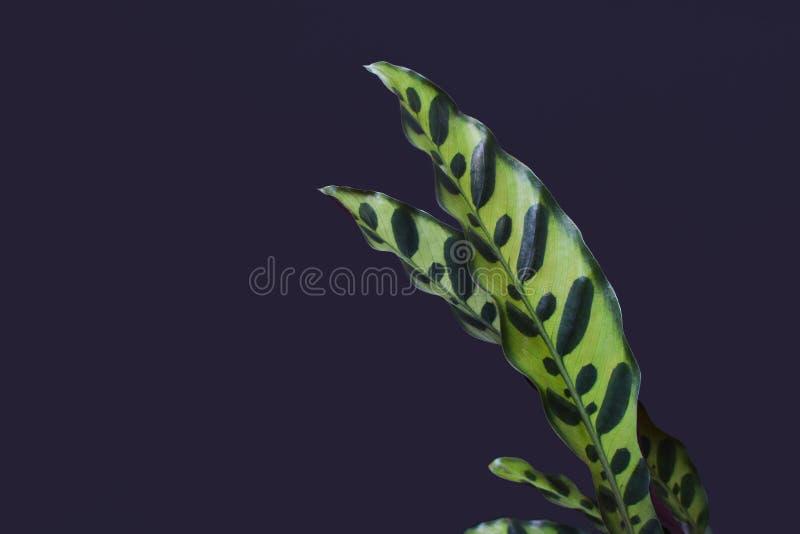 Zakończenie w górę liści tropikalna «Calathea ancifolia «roślina, także nazwana «grzechotnik roślina «z egzotycznymi kropka wzora royalty ilustracja