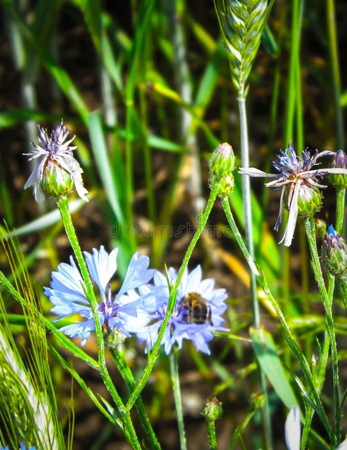 Zakończenie w górę miodowej pszczoły na irysowym kwiacie zdjęcie stock