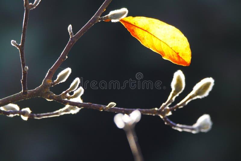 Zakończenie w górę odosobnionego żółtego świecącego urlopu z puszystymi białymi baziami na nagich gałąź magnoliowy drzewo w jesie fotografia royalty free