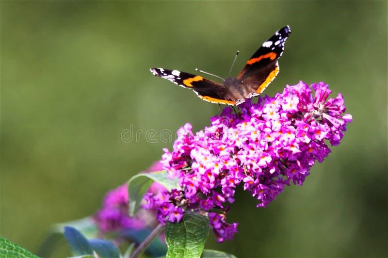Zakończenie w górę odosobnionego motyliego Admiral Vanessa Atalanta na różowym lilym kwiatu Syringa vulgaris z zielenią zamazywał zdjęcia royalty free
