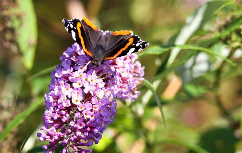 Zakończenie w górę odosobnionego motyliego Admiral Vanessa Atalanta na różowym lilym kwiatu Syringa vulgaris z zielenią zamazywał zdjęcie royalty free