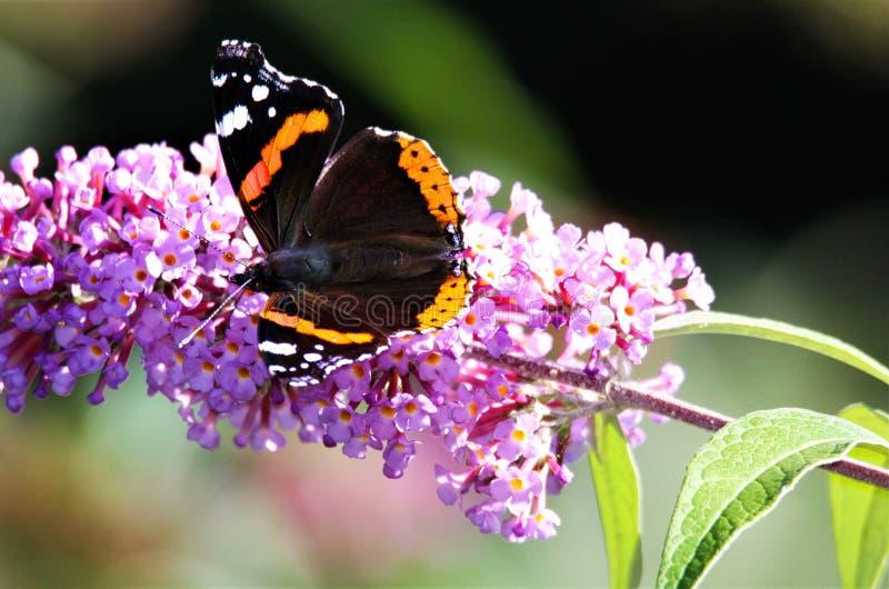 Zakończenie w górę odosobnionego motyliego Admiral Vanessa Atalanta na różowym lilym kwiatu Syringa vulgaris z zielenią zamazywał fotografia royalty free