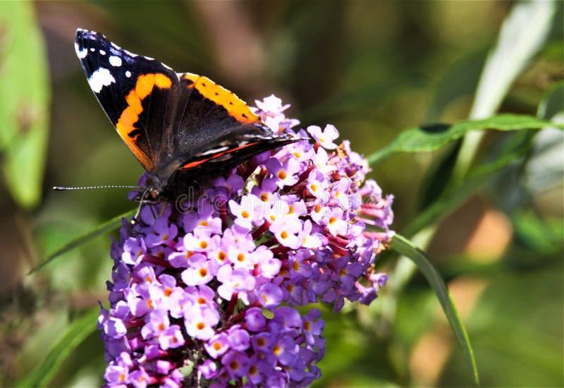 Zakończenie w górę odosobnionego motyliego Admiral Vanessa Atalanta na różowym lilym kwiatu Syringa vulgaris z zielenią zamazywał zdjęcie stock