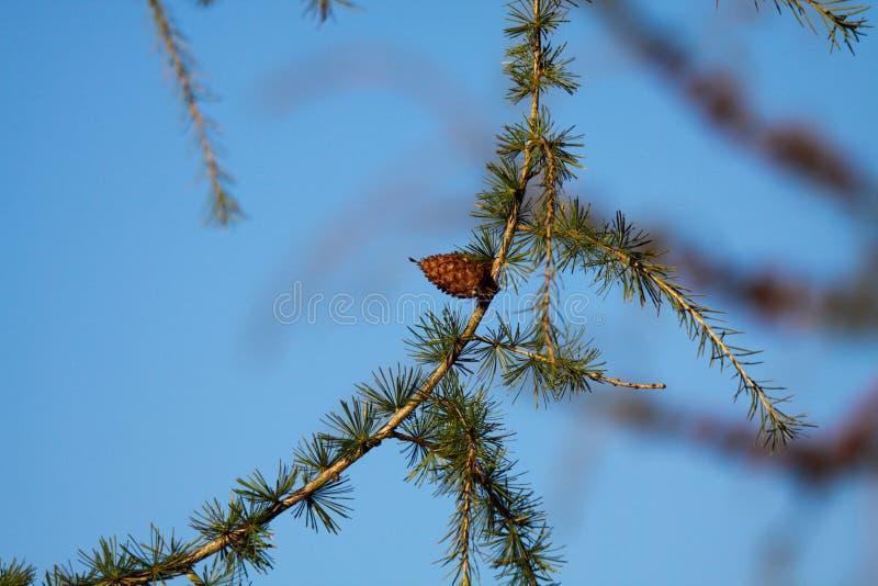 Zakończenie w górę odosobnionej gałąź modrzewiowego drzewa Larix decidua z zielonymi igłami i pojedynczy brązu rożek przeciw nieb fotografia stock