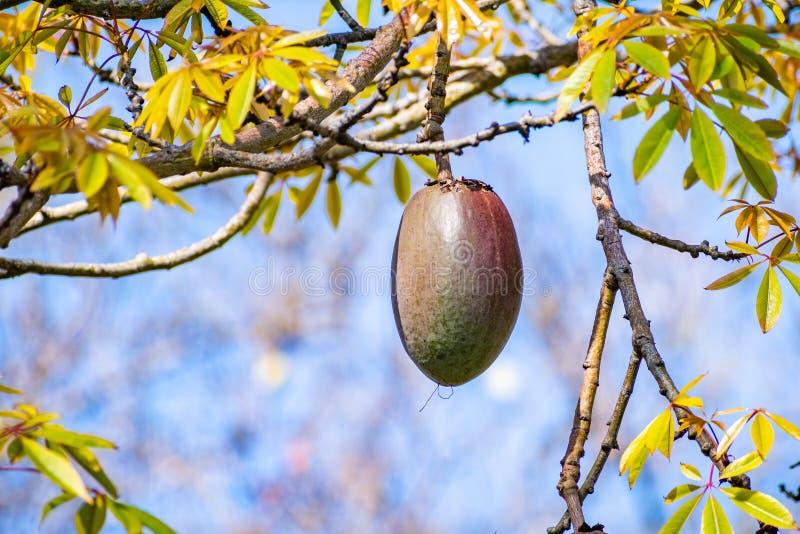 Zakończenie w górę ovoid owocowego strąka Jedwabniczego Floss Ceiba drzewny speciosa, San Diego, Kalifornia obraz stock