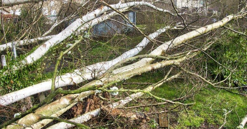 Zakończenie w górę pięć dużych brzoz drzew zestrzela w ogródzie po silnej tornada i skrzydła burzy Katastrofa dla firmy ubezpiecz zdjęcia stock