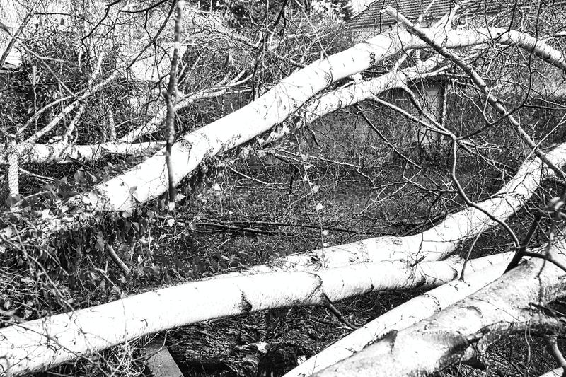 Zakończenie w górę pięć dużych brzoz drzew zestrzela w ogródzie po silnej tornada i skrzydła burzy Katastrofa dla firmy ubezpiecz zdjęcie royalty free