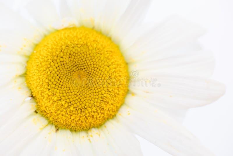 Zakończenie w górę piękna stokrotka biały kwiat z żółtym pollen brudnym na płatku Natury textture tapeta lub tło obraz stock