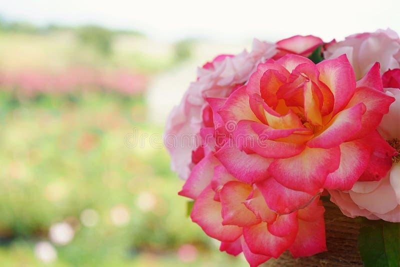Zakończenie w górę pięknego dwa brzmień róży kwiatu kwiatu w zielonym ogródzie obraz stock