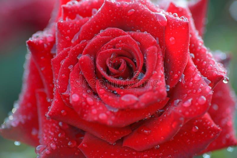 Zakończenie w górę pięknej czerwieni róży z wodą opuszcza na płatka Żywym col zdjęcie stock