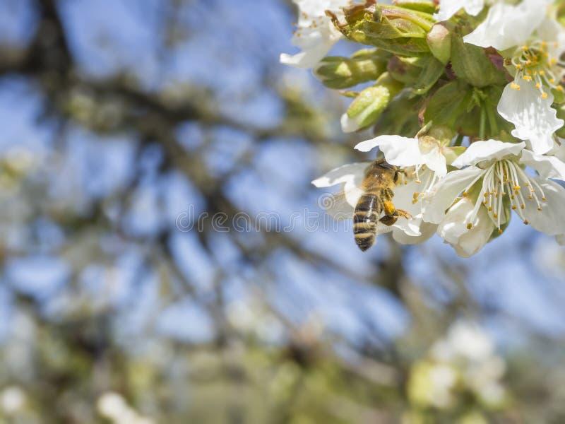 Zakończenie w górę pięknych makro- kwitnienie menchii jabłczanego okwitnięcia z latającym pszczoły zgromadzenia pollen pączka kwi zdjęcia royalty free