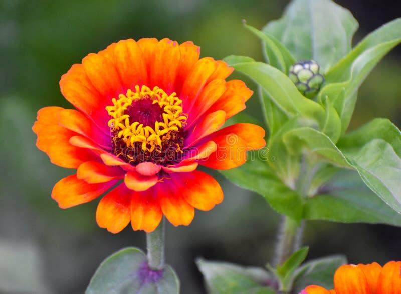Zakończenie w górę pomarańcze, Czytającego i Żółtego kwiatu, obrazy royalty free