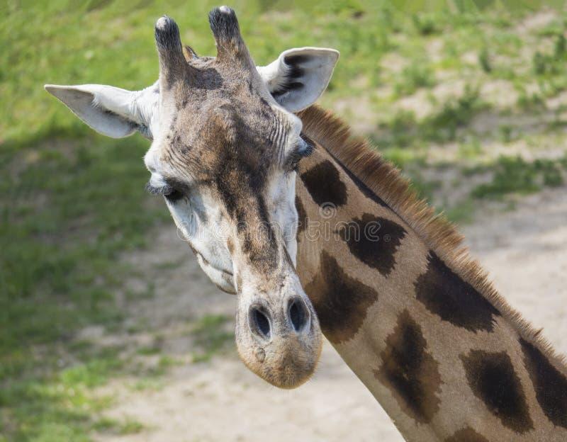 Zakończenie w górę portreta żyrafy głowa, Giraffa camelopardalis camelopardalis Linnaeus, czołowy widok, zielony bokeh tło obraz royalty free