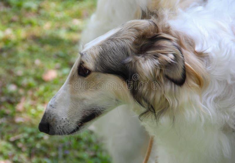 Zakończenie w górę portreta biały rosjanina psa Borzoi fotografia royalty free