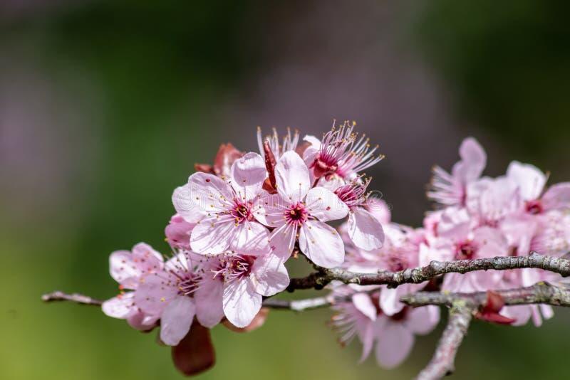 Zakończenie w górę Prunus Cerasifera Pissardii okwitnięcia z menchiami kwitnie na zamazanym tle zdjęcia royalty free