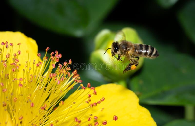 Zakończenie w górę pszczoły zapyla kwiaty podczas gdy szukający nektar fotografia stock