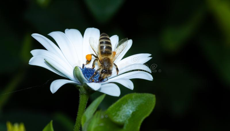 Zakończenie w górę pszczoły zapyla kwiaty podczas gdy szukający nektar fotografia royalty free