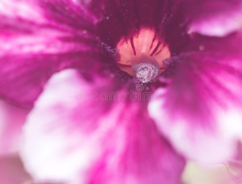 Zakończenie w górę purpury pustyni róży kwiatu obraz stock