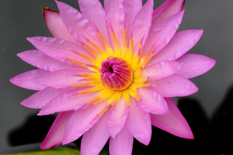 Zakończenie w górę różowego lotosu kwitnie w wodzie zdjęcia royalty free