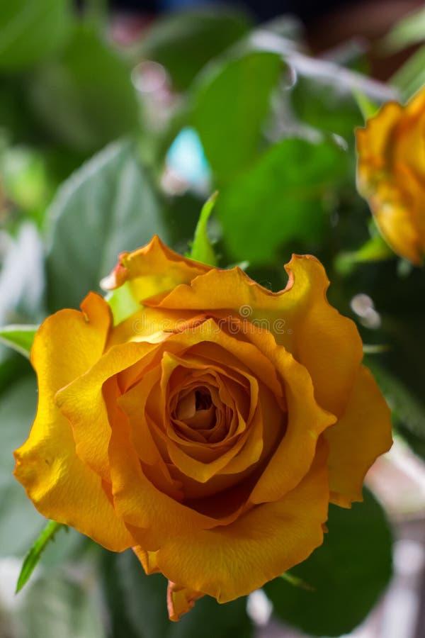 Zakończenie w górę róży z otwartą przestrzenią lewica zdjęcia stock