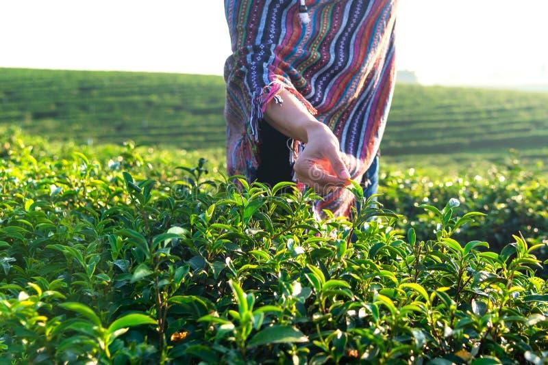 Zakończenie w górę ręka pracownika średniorolnych kobiet podnosił herbacianych liście dla tradycji w wschód słońca ranku przy her zdjęcie stock