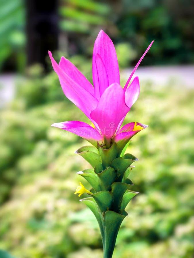 Zakończenie w górę Siam Krachiew lub tulipanu kwiatu 01 obrazy stock