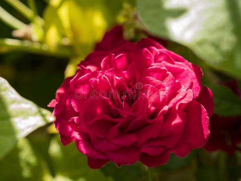 Zakończenie w górę strzału czerwony mini róży okwitnięcie fotografia royalty free