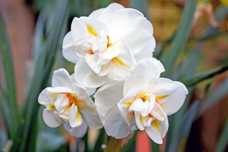 Zakończenie w górę trzy przewodzącego daffodil zdjęcie royalty free