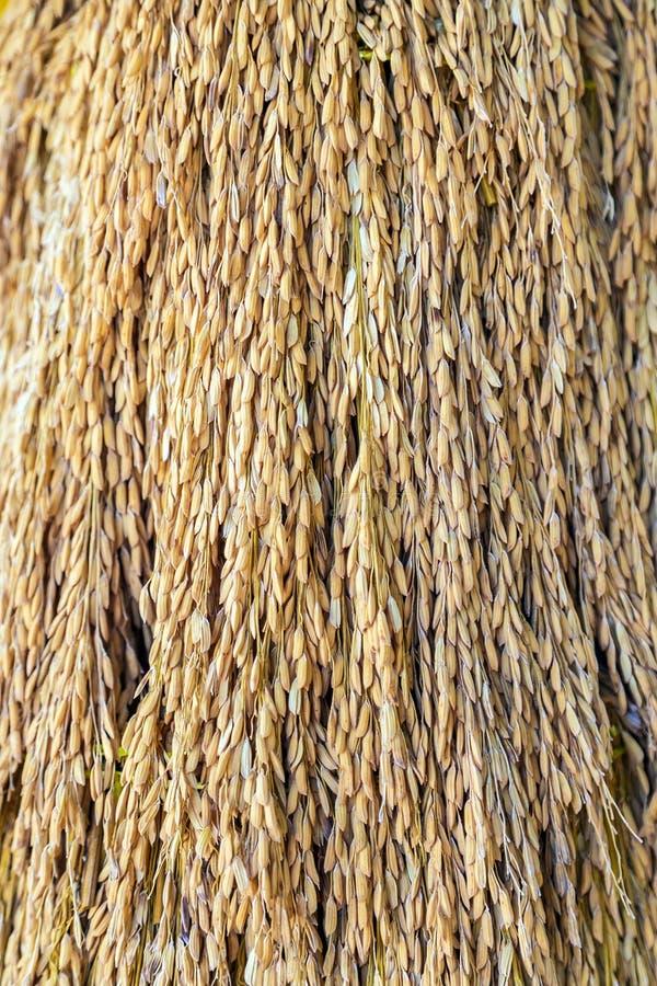 Zakończenie w górę ucho ryż wiąże dla tło obrazka zdjęcia royalty free