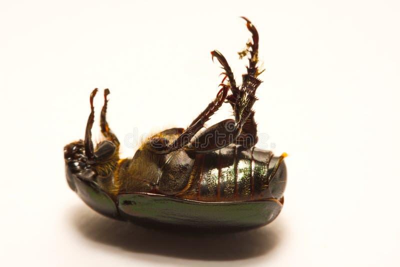 Zakończenie w górę widoku ścigi jest grupą insekty które tworzą rozkazu Coleoptera, w nadrządzie Endopterygota obrazy royalty free