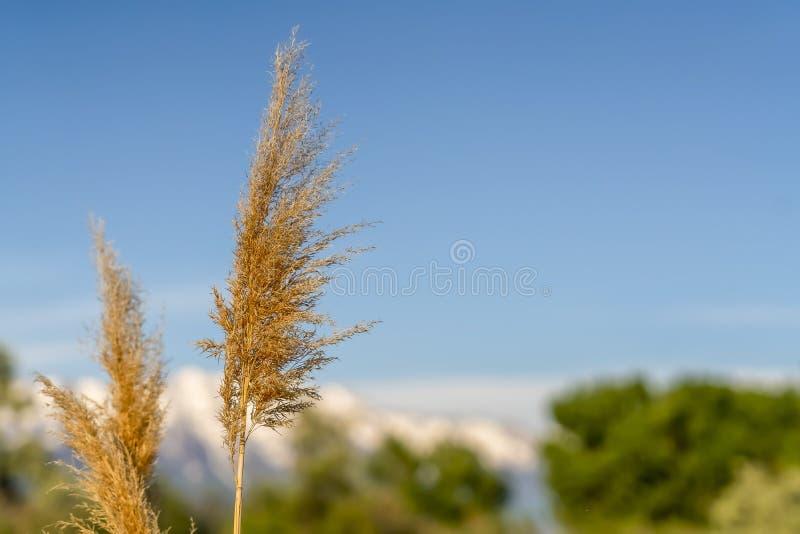Zakończenie w górę widoku brąz trawy z cienkimi trzonami przeciw niebieskiemu niebu na słonecznym dniu obraz royalty free