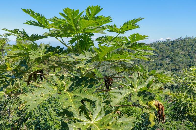 Zakończenie w górę widoku melonowa drzewo z dojrzewać owoc Ogromni liście melonowiec na długich badylach Tło z tropikalnym lasem obraz stock