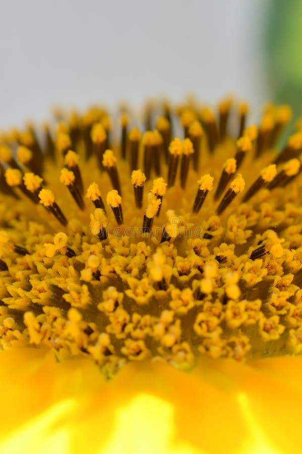 Zakończenie w górę wielkiej żółtej słonecznik głowy outside na słonecznym dniu obraz royalty free