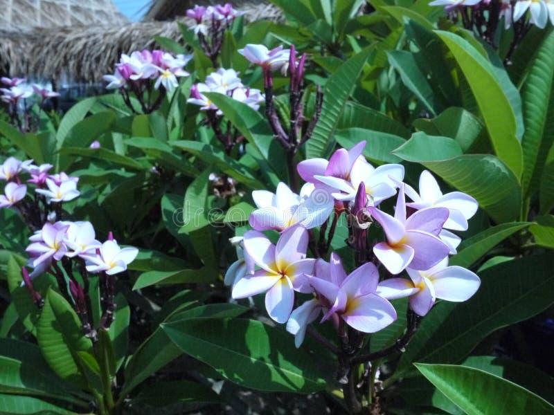 Zakończenie w górę wizerunku oszałamiająco piękny Plumeria kwitnie obraz royalty free