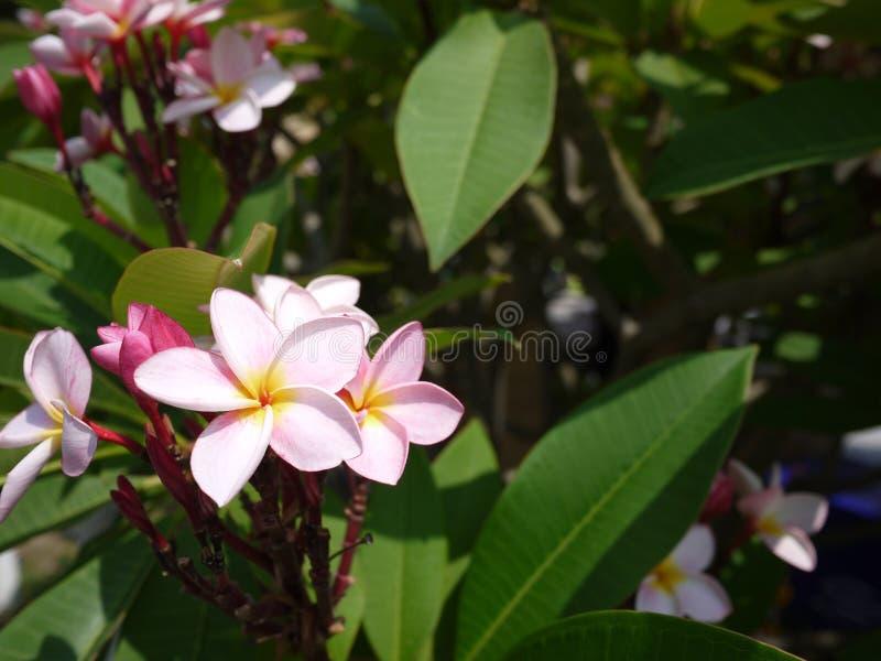 Zakończenie w górę wizerunku oszałamiająco piękny Plumeria kwitnie zdjęcia royalty free