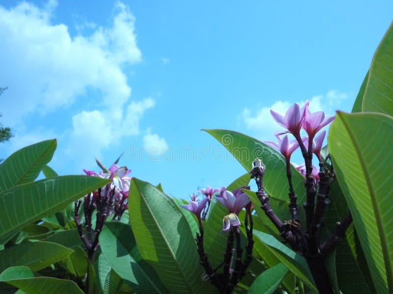 Zakończenie w górę wizerunku oszałamiająco piękny Plumeria kwitnie fotografia stock