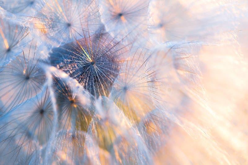 Zakończenie w górę ziaren dandelion kwiat w zmierzchów promieniach Backlight t?o ziele? opuszcza? natury klonowego lato mokry Mak zdjęcia stock