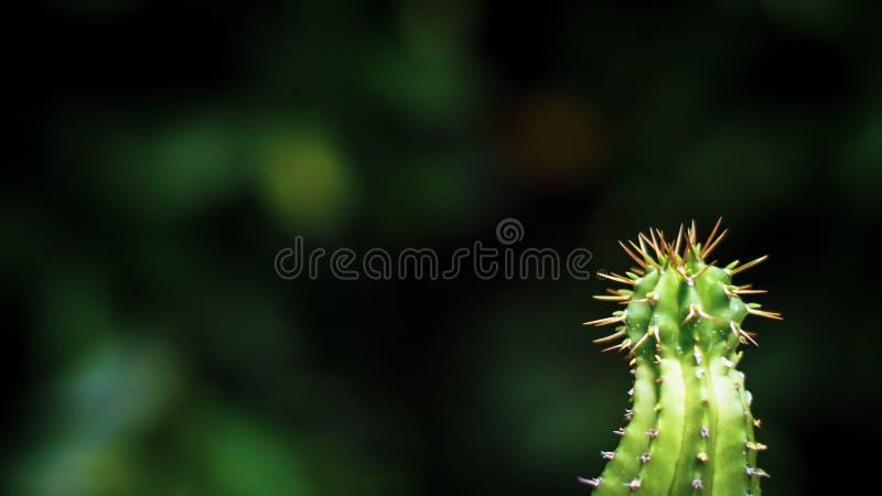 Zakończenie w górę zielonego kaktusa w puszkować ziemię z długimi cierniami zdjęcie stock