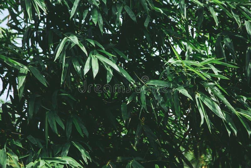 Zakończenie w górę zielonych narastających drzewnych bambusów liści lasowych z naturalnym światłem dla sztandaru lub strona inter obraz royalty free
