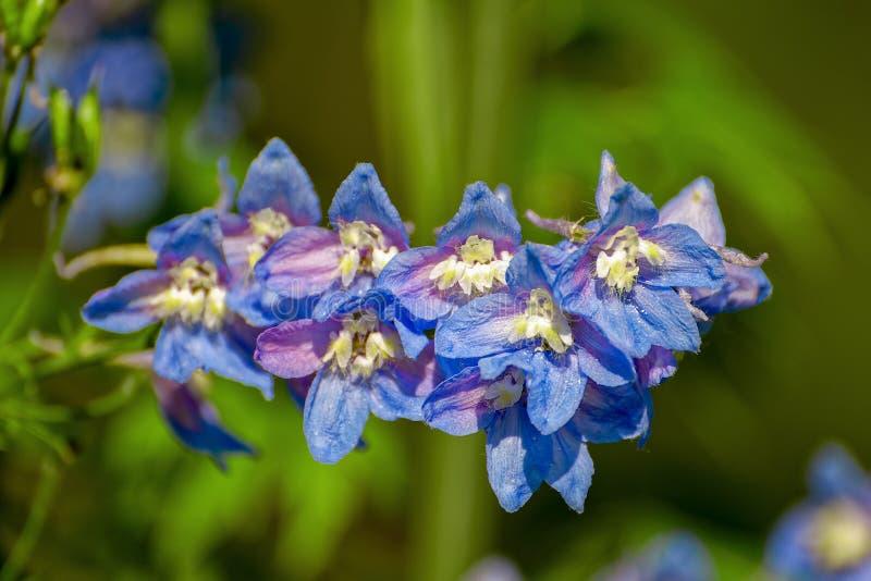 Zakończenie widok błękitni kwiaty kwitnący Delphinium na naturalnym ulistnienia tle obrazy royalty free