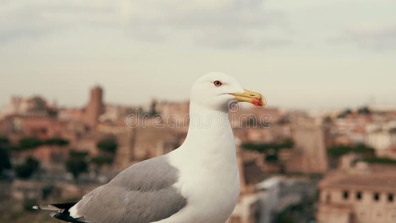 Zakończenie widok biały mały seagull patrzeje wokoło Przeciw tłu starzy miasto dachy zdjęcia stock