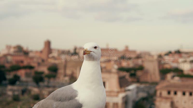 Zakończenie widok biały mały seagull patrzeje wokoło Przeciw tłu starzy miasto dachy fotografia royalty free
