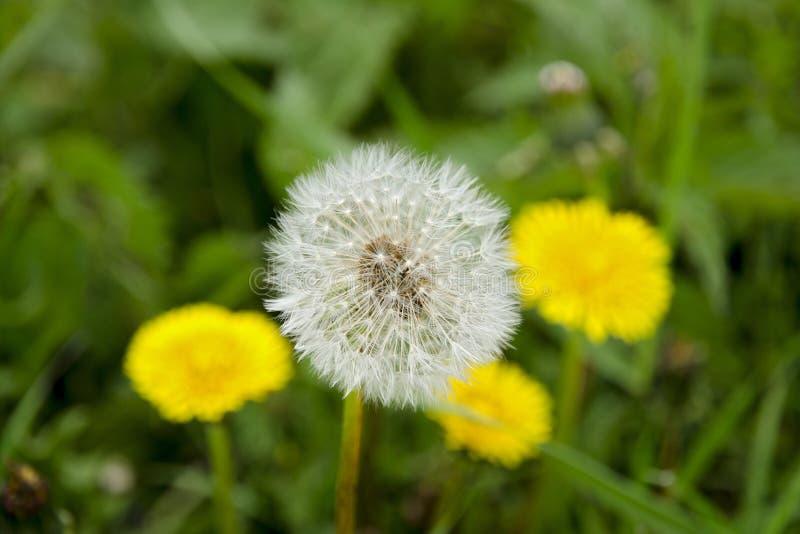 Zakończenie widok kwitnący dandelion i fluff w tle z zamazanymi żółtymi dandelions fotografia royalty free