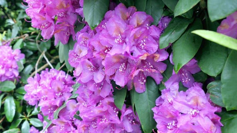 Zakończenie widok kwitnący purpurowy różanecznik obrazy royalty free