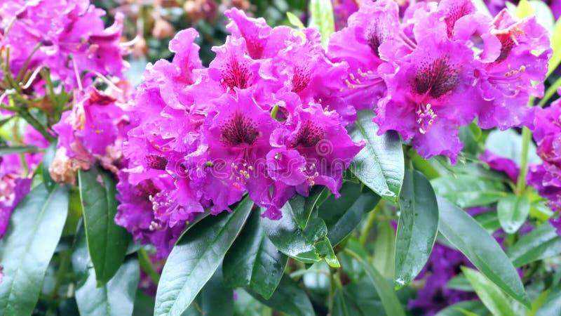 Zakończenie widok kwitnący purpurowy różanecznik obraz royalty free
