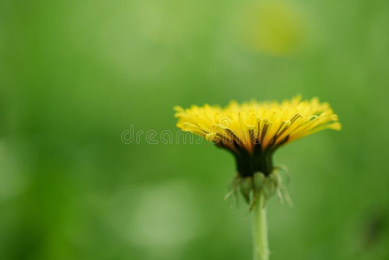 zakończenie widok pojedynczy żółty kwitnący dandelion kwiat, zdjęcie royalty free