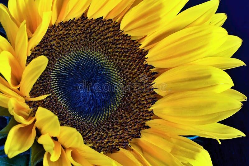 Zakończenie widok słonecznikowy kwiat obrazy royalty free