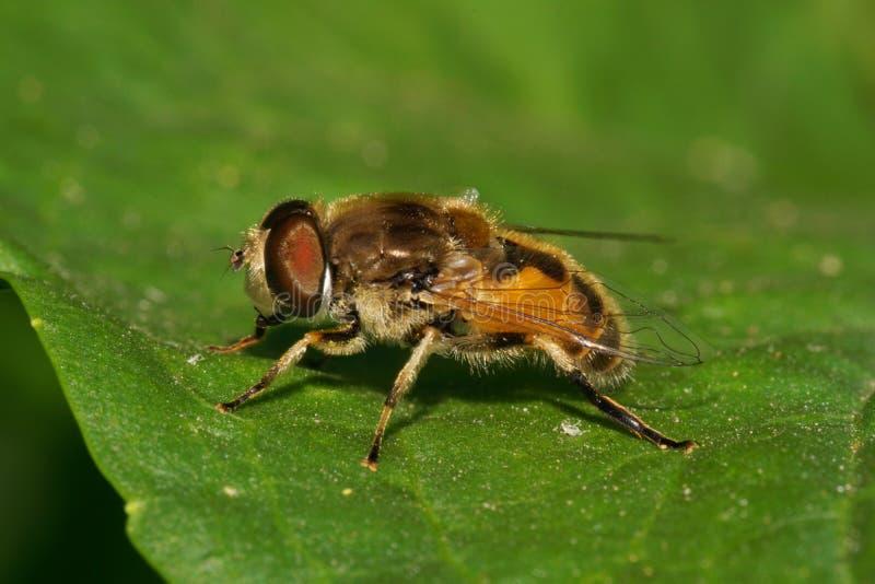 Zakończenie widok strona Kaukaska puszysta kwiat komarnica unosi się obrazy royalty free
