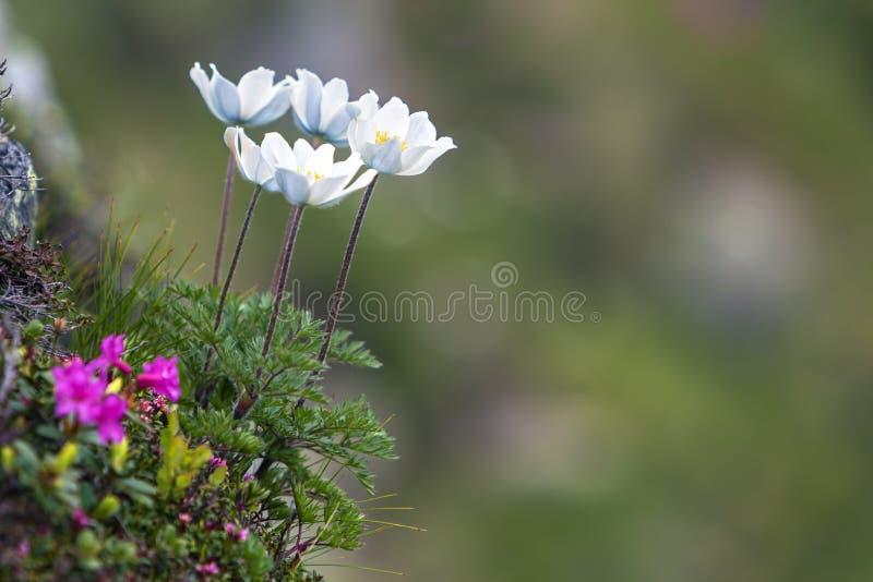 Zakończenie zaświecający słońce ładnymi białymi kwiatami na wysokich trzonach z oferty zieleni liśćmi kwitnie na stromym skłonie  zdjęcia stock